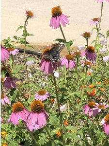 Black Swallowtail on Pink Coneflowers